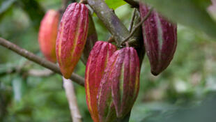 Cocoa fruit on a tree in a tropical forest. Côte d'Ivoire produces 40 per cent of the world's cocoa.