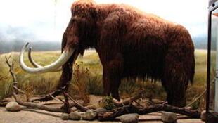 Reconstitution de mammouth.