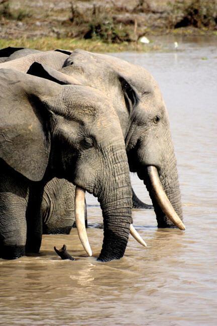 Según denuncia WWF, las tiendas de Tailandia venden de manera ilegal toneladas de colmillos de elefantes africanos, haciéndolos pasar por marfil tailandés.
