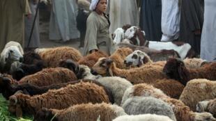 Corderos en el mercado de animales cerca del Cairo.