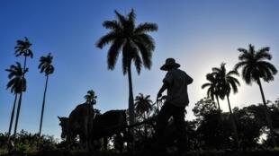 La Brigade Venceremos vient en aide aux paysans cubains pour leurs récoltes. Originellement, ils venaient pour aider à couper les cannes à sucres lors des «zafras».