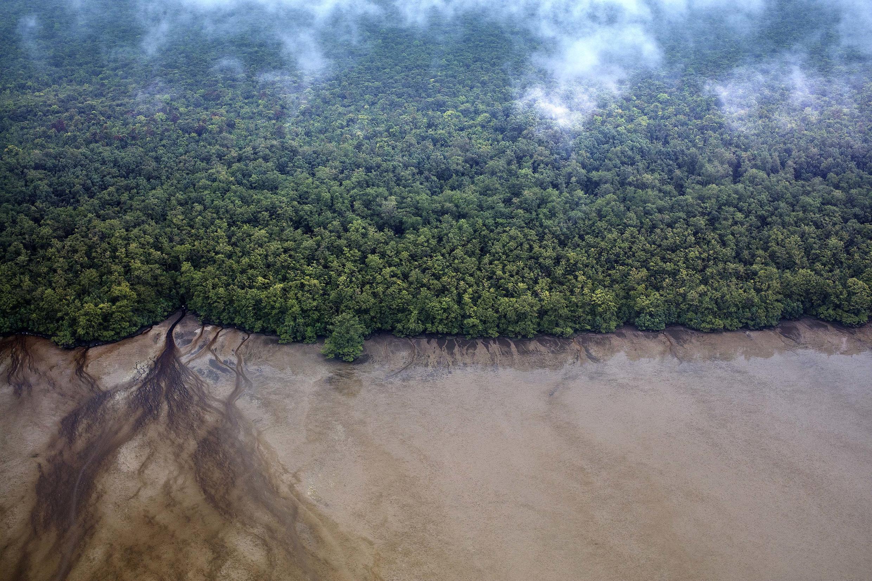 La mangrove du littoral guyanais serait impactée en cas de marée noire