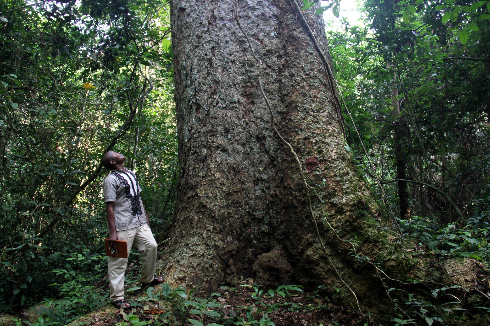 Félix Allah-Barem et «Le Vieux», un immense kosipo, l'arbre le plus imposant du dispositif de Mbaïki.
