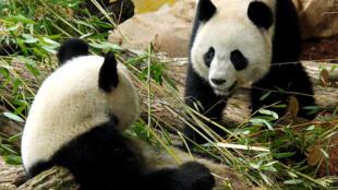 Cặp gấu trúc bố mẹ Viên Tử (Yuan Zi) và Hoan Hoan (Huan Huan - Phải) tại sở thú Beauval, Saint-Aignan, miền trung nước Pháp, ngày 17/01/2012.