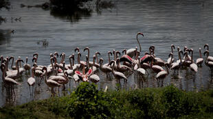 Flamingos feed on the shore of Lake Oloidien near Naivasha in Kenya_2013__AP_Ben Curtis