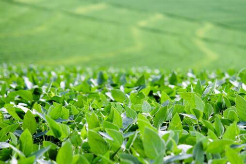 Un champ de soja.
