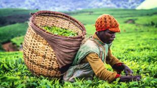 Plantation de thé au Burundi.