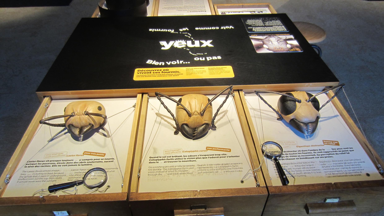 La taille des yeux, des mandibules et des antennes peut varier en fonction du rôle occupé dans la fourmilière.