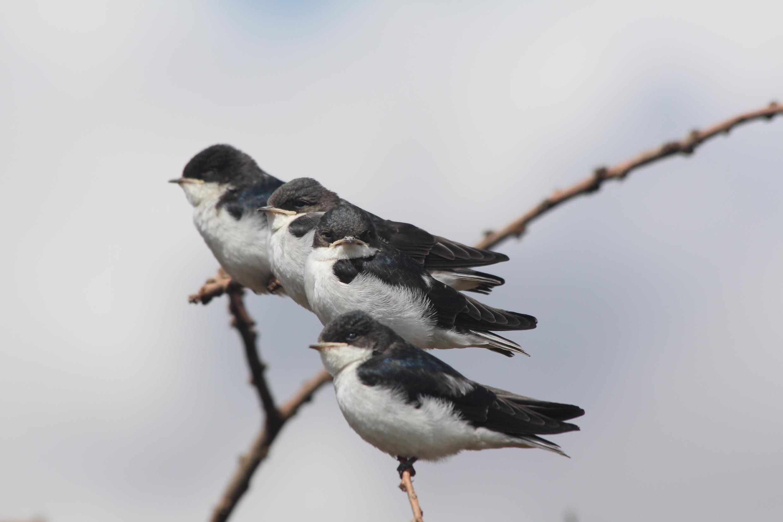 Young white-tailed swallows_Ethiopia_Andrew Bladon