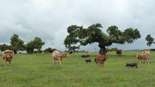 La Dehesa, pâturages de l'Estrémadure entrecoupés de chênes verts ou de chênes-lièges tous les 30 à 40 hectares.