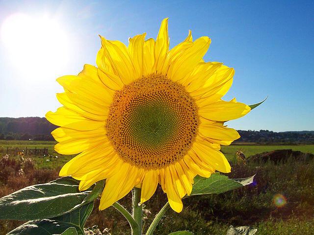 El girasol, ícono de las energías renovables por su enorme aprovechamiento de la luz solar, su uso para fabricar biodiésel y su parecido con el Sol.