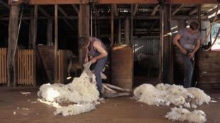 tonte-moutons-australie
