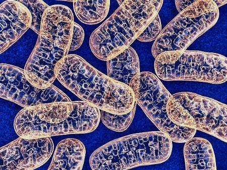 mitocondrias-1568556387918_v2_450x337