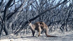 Un kangourou dans le parc national de Flinders Chase dans une zone touchée par les feux sur l'île Kangourou, au sud-ouest d'Adélaïde, le 7 janvier 2020.