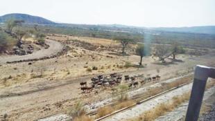 Selon les autorités, depuis le lancement de la ligne Ethiopie-Djibouti, autour de 60 dromadaires, chèvres et bovins ont été tuées, lors d'un des premiers voyage.