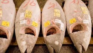 Le thon rouge méditerranéen est très recherché par les Japonais pour sa chair raffinée.