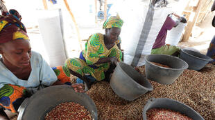 L'arachide, principal produit cultivé au Sénégal par au moins 60% de la population.