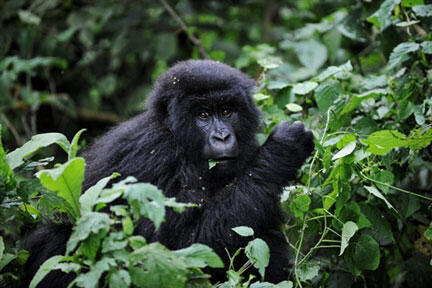 Le gorille des montagnes est l'une des espèces emblématiques du parc national des Virunga, en RDC.