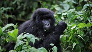 Le parc national des Virunga en RDC, refuge des derniers gorilles des montagnes.