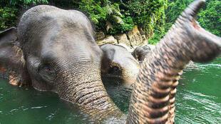 El elefante de Sumatra, el más chico de los elefantes asiáticos, está en peligro de extinción.