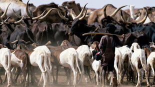 Un jeune garçon peul avec son troupeau, dans le sahara, au Niger.