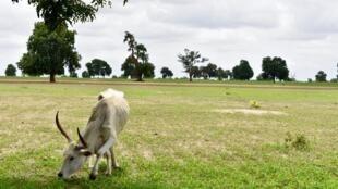 Une vache broute dans la brousse verdoyante à quelques kilomètres de la ville de Kaolack, le 16 juillet 2020.