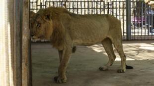 Un león desnutrido en el zoológico de Al-Qureshi, Jartum, el 19 de enero de 2020.