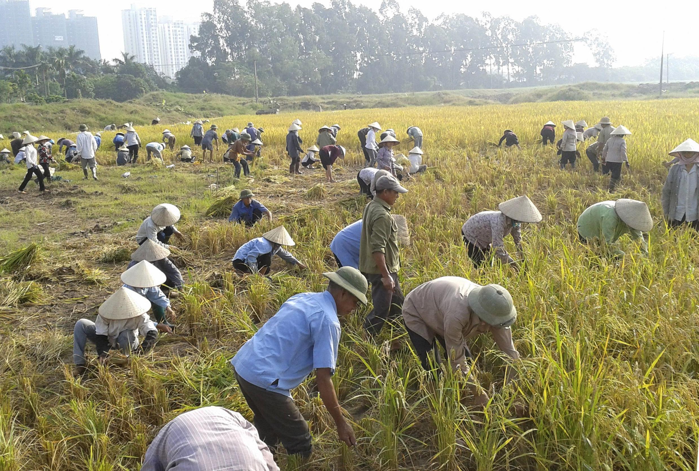 Đất trồng lúa của nông dân Văn Giang, tỉnh Hưng Yên - REUTERS /Mua Xuan