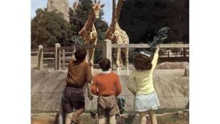 Des enfants nourrissent les girafes du zoo de Vincennes en 1949.