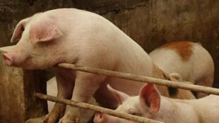 今年5月一处与中国相邻的朝鲜农场报告了77只病猪的死亡事件,图为辽宁一农场的猪圈