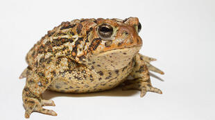 Toads on the endangered species list will be encouraged to breed near the Brittany town
