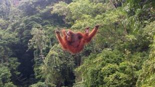 La survie des orang-outans, dits aussi jockos, est menacée par l'exploitation du bois et le développement des cultures destinées à la production de biocarburants.