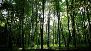 La forêt de Bialowieza, en Pologne.