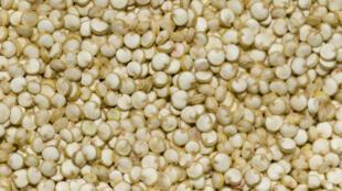 Des graines de quinoa, plante herbacée cultivée dans les hautes plaines des Andes.