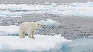 Một con gầu Bắc Cực tại quần đảo Svalbard, Bắc Băng Dương.