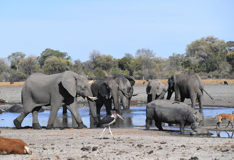Des éléphants dans le delta d'Okavango au Botswana où ont été retrouvés morts des centaines de pachydermes.