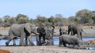 Des éléphants dans le delta de l'Okavango au Botswana où ont été retrouvés des centaines de pachydermes morts.
