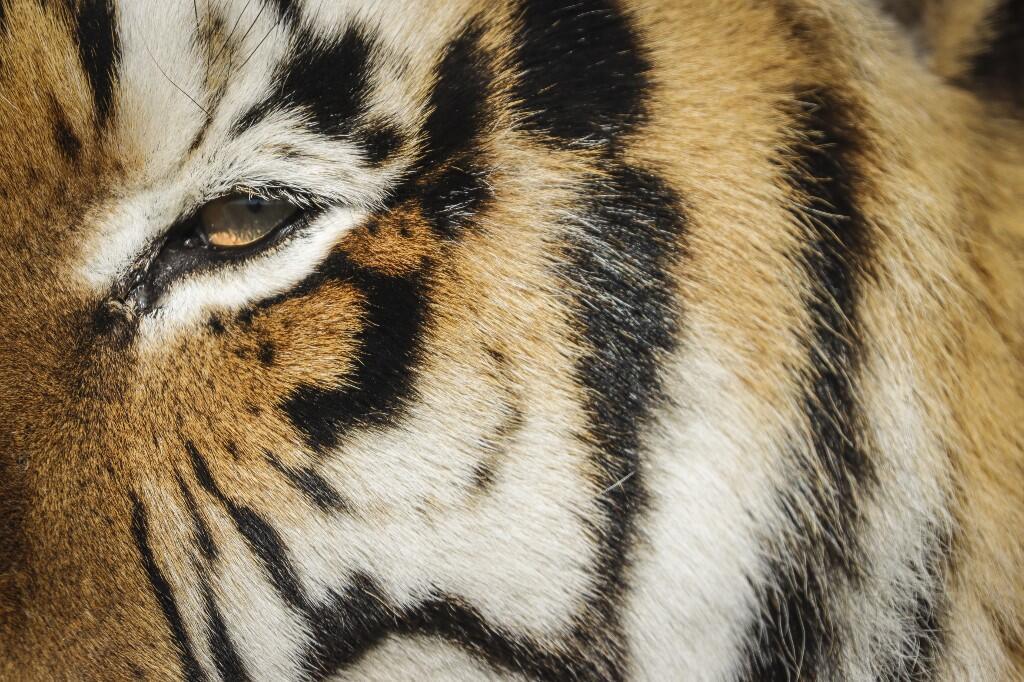 Le nombre de réserves privées élevant des tigres augmente en Afrique du Sud. (image d'illustration)