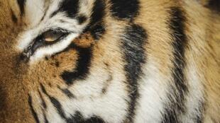 Une tigresse du zoo du Bronx à New York a été testée positive au Covid-19.