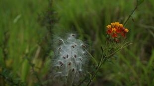 Des graines de coton encore présentes sur leur tige.