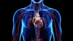 sistema-circulatorio-560x372