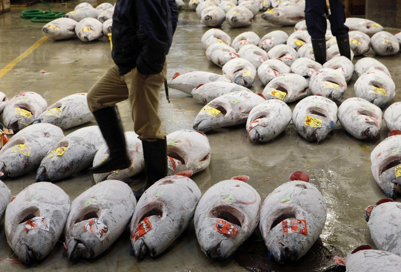 Bluefin tuna is popular among sushi lovers in Japan