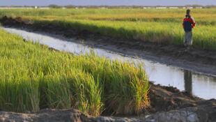 Des rizières dans le parc national des oiseaux du Djoudj, au Sénégal.