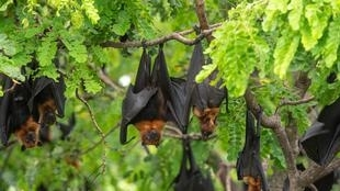 bats-hanging-on-a-tree-branch-bats-are-among-the-carriers-of-the-picture-id1202258782 (1)