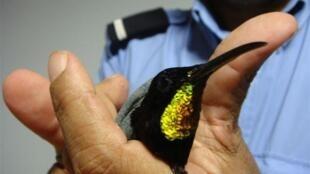 Un agente de las aduanas muestra un colibrí que 'viajaba' con otros de su especie con un pasajero de Guayana.