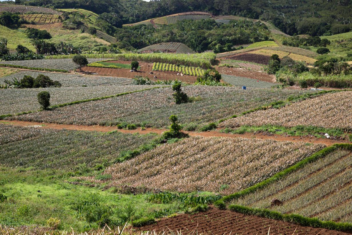 Champs agricoles aux Mariannes, à l'Ile Maurice.