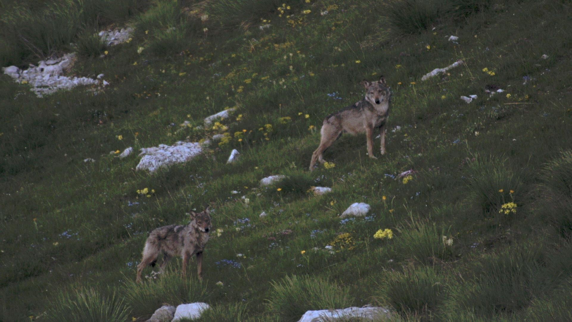Image tirée du documentaire «La Vallée des loups», de Jean-Michel Bertrand.