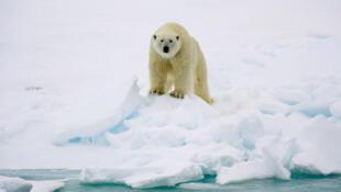 Un oso polar en su medio natural en el Ártico. Imágen de 2009.