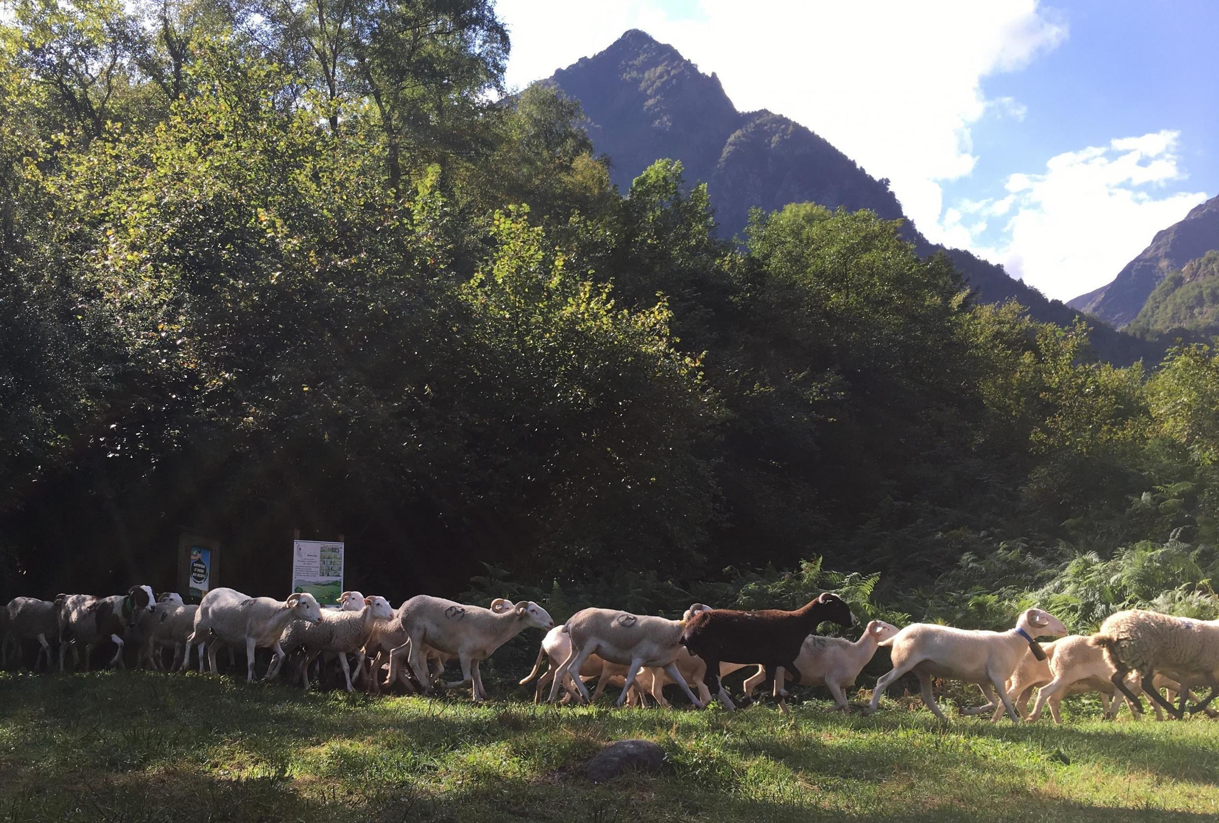 At the end of the transhumance, the summer grazing season, Tarascon sheep are brought down from the pasture above Siguer in the French department of Ariège.
