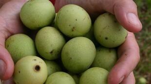 Les fruits verts de Marula à partir desquelles on fabrique une l'huile, réputée pour ses propriétés hydratantes.